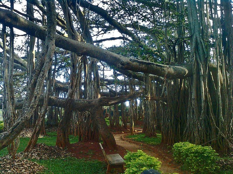 "Wikipedia once again provides an appropriate image.""Big Banyan Tree at Bangalore"" by Kiran Gopi"
