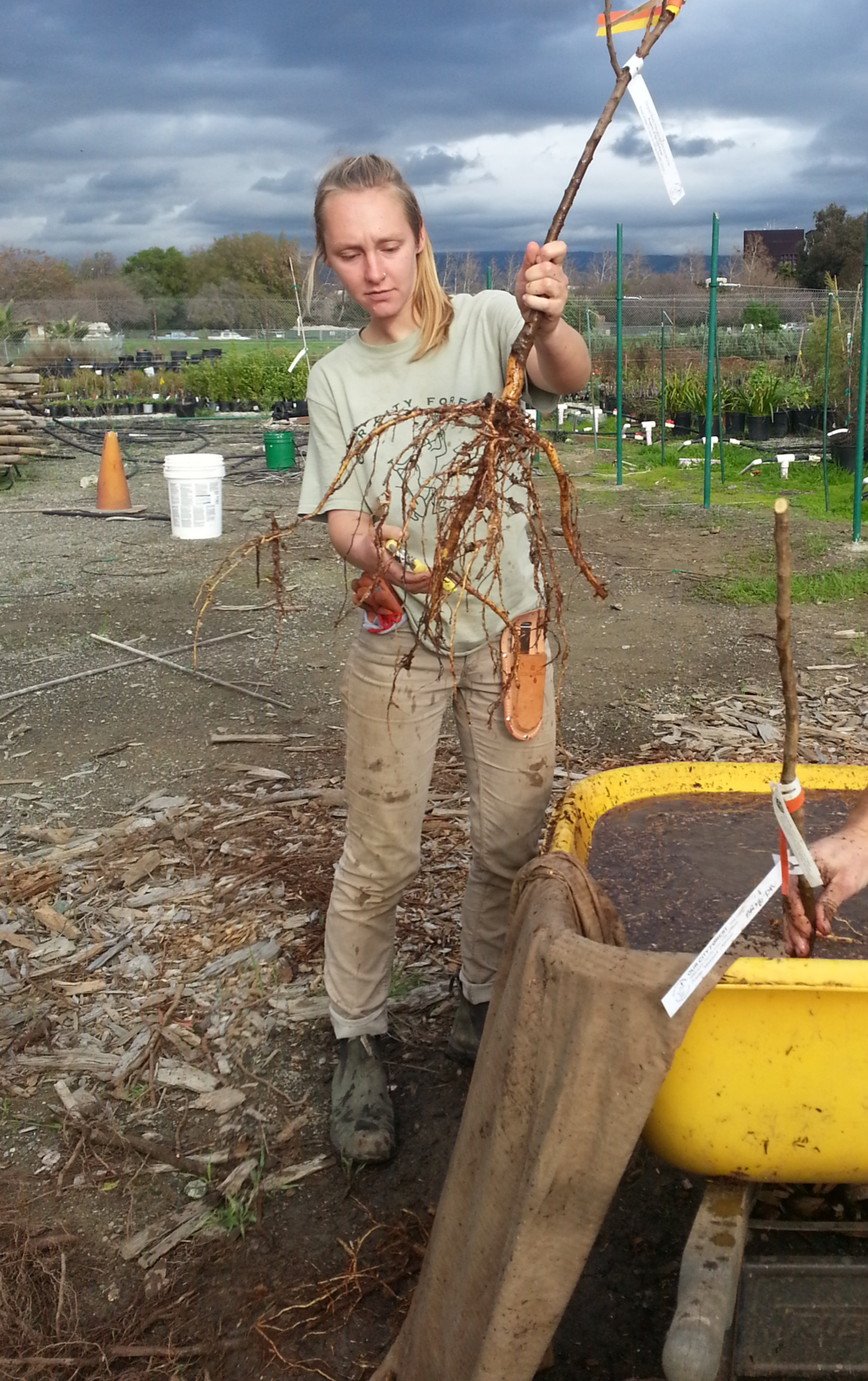One of our AmeriCorps Service Members pulls a bare root tree for root pruning.