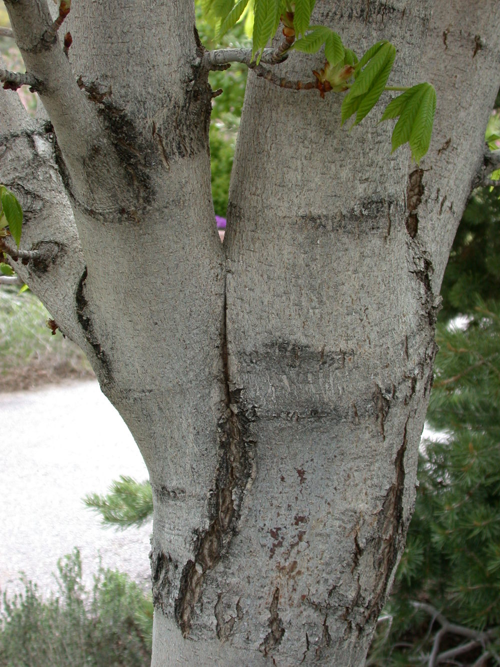Note the vertical crack between the branch and trunk. Bark is growing between the branch and stem. ( source )