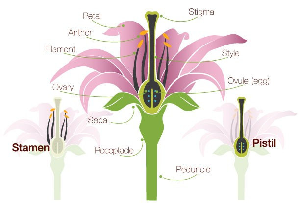 Flower anatomy, fruits develop from fertilized ovaries. The tissue surrounding the ovules is the pericarp. (By ProFlowers via a CC 2.0 license)