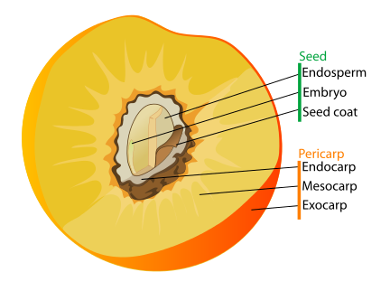 Drupe anatomy as drawn by the Public Domain