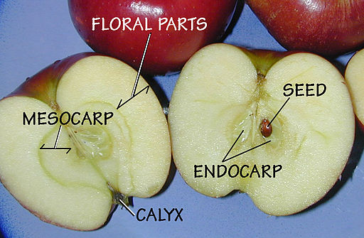 Apples: The Type Pome