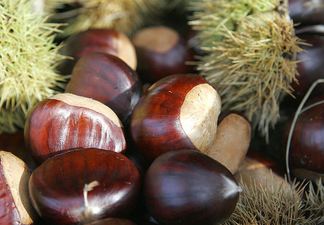 Chestnuts are the most honest nuts in that they are both botanical and culinary nuts. (By Fir0002 - Own work, GFDL 1.2)