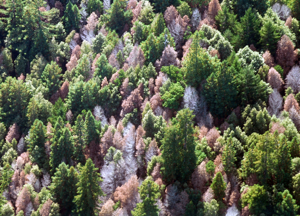 USFS aerial photograph of Sudden Oak Death in Marin County, caused by Phytophthora ramorum. The disease spreads easily down hills and through neighboring oaks with closely-connected root networks. (source CC 2.0)