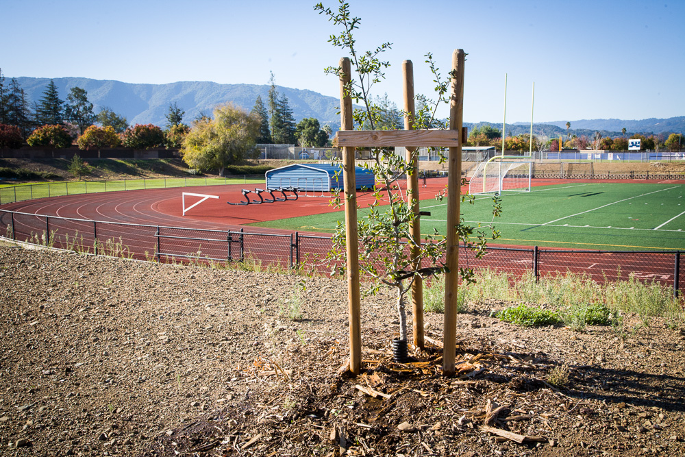Quercus douglasii overlooking the track and football field Branham High School.