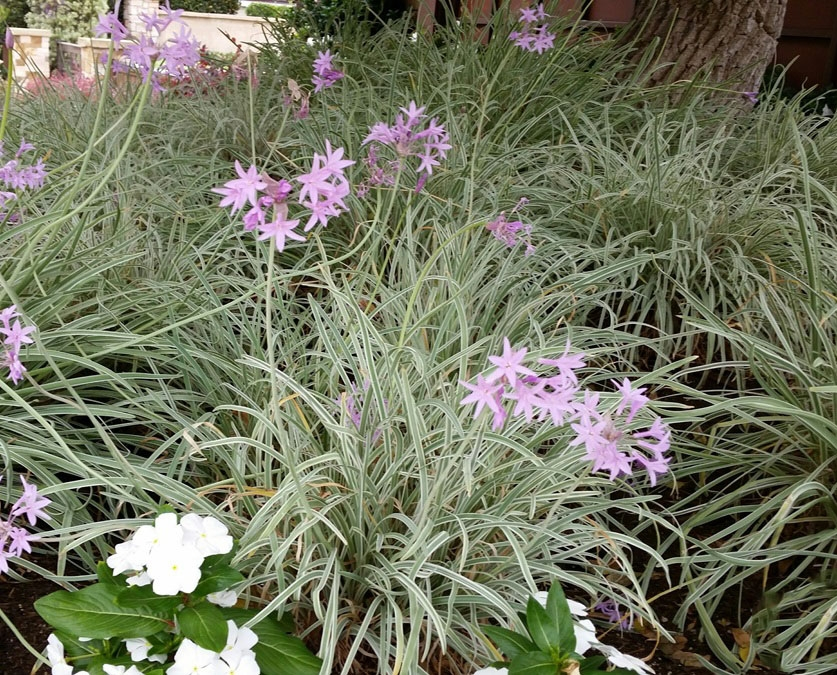 Tulbaghia 'Silver Lace'