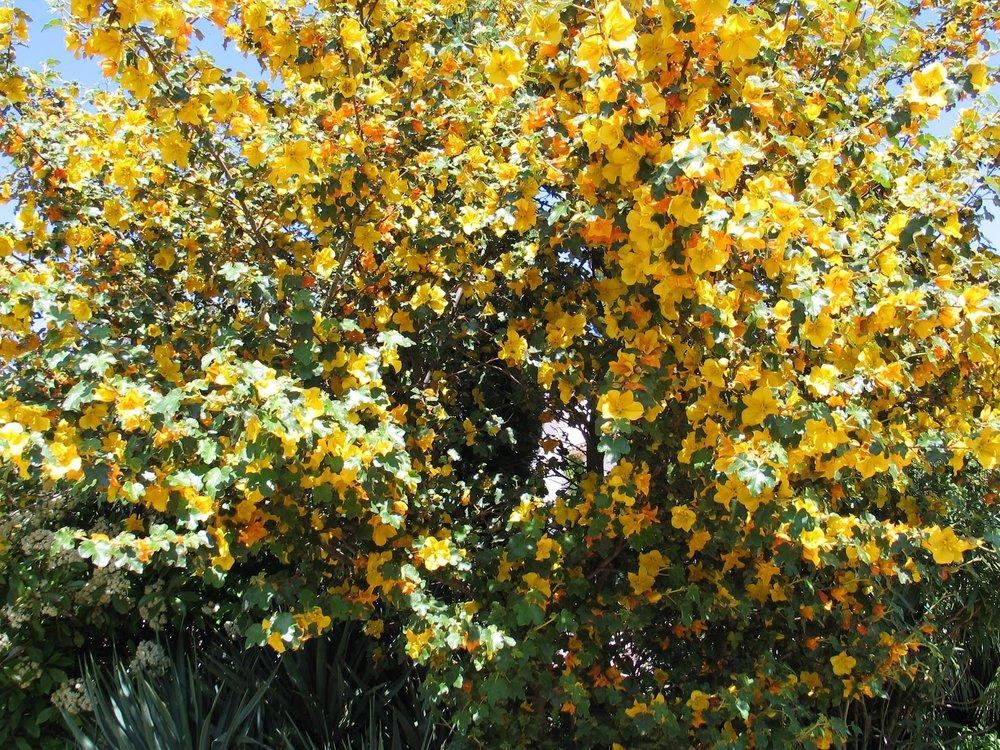 Fremontedenron californicum
