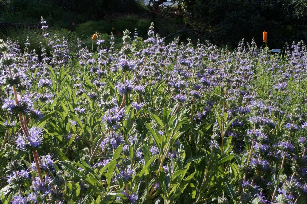 Salvia leucophylla 'Bee's Bliss'