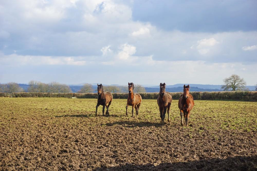 Wild horses in Somerset