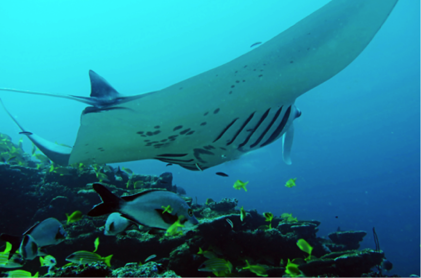 Scuba Diving in The Maldives, Giant Manta Ray