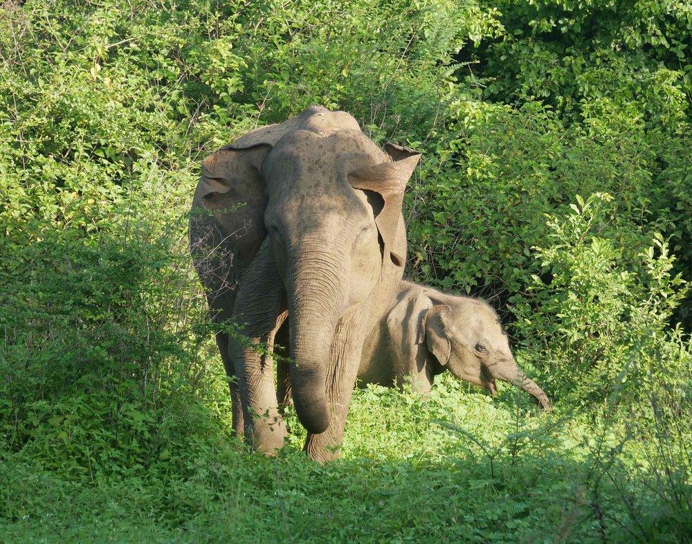 Sri Lanka, Wildlife photography, Elephants