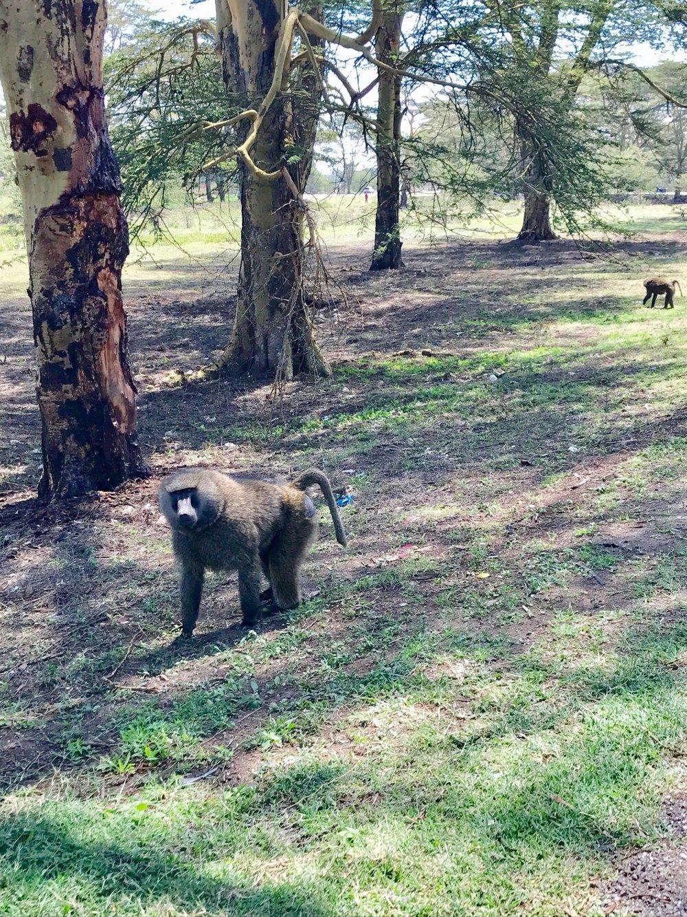 A curious baboon.