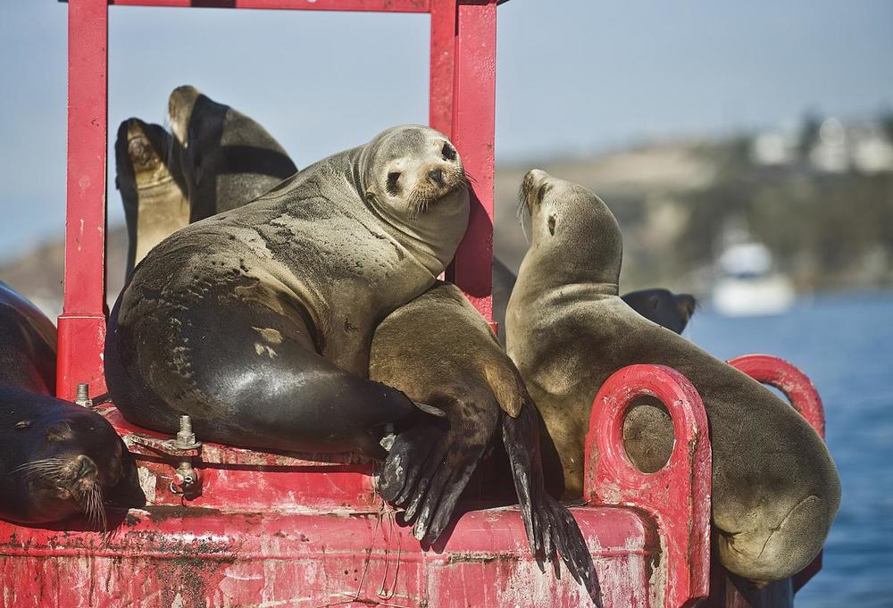 Photos: Rescuers track sea lions' return to Orange County's coast  February 22, 2016