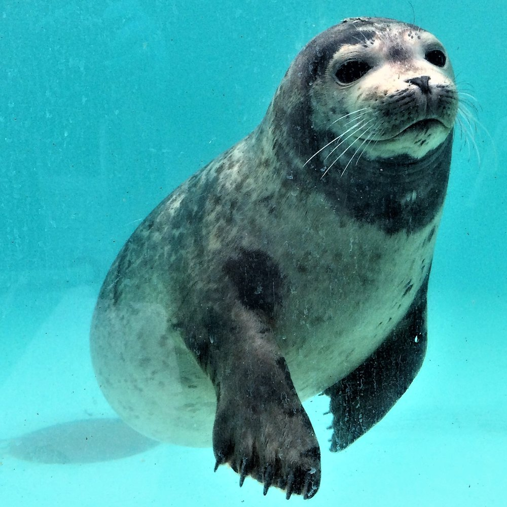 Quartz - A young male harbor seal pup given the name
