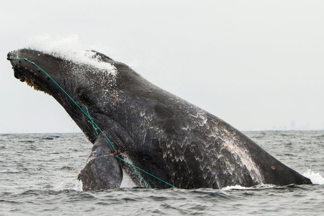 Scarlet the humpback whale was photographed tangled in a line in August, 2016 off Newport Beach. A record number of whales were entangled off California coast last year. (Courtesy Mark Girardeau)