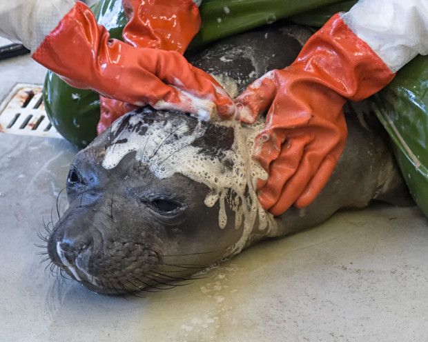 SeaWorld San Diego workers clean a Northern elephant seal covered with oil at the park's Oiled Wildlife Care in 2015 after the Refugio Beach oil spill. (Courtesy of SeaWorld San Diego)