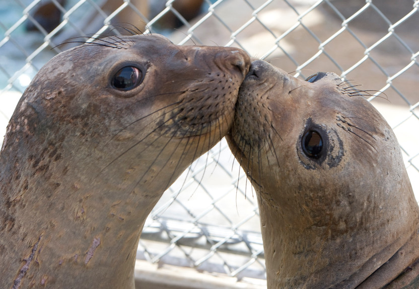 A couple of elephant seals smooch at the Pacific MARINE mAMMAL cENTER WHERE THEY WERE TAKEN IN AFTER BEING RESCUED.
