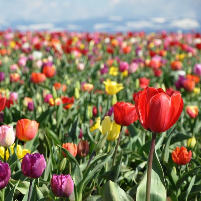 Tulip Festival, Apr 2012