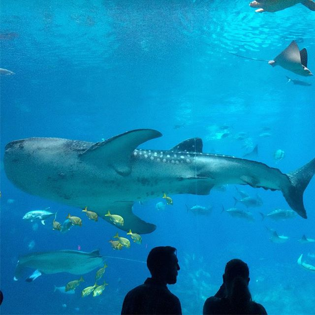 I could sit in front of this aquarium all day. #georgiaaquarium #oceanvoyager #whaleshark #fishareawesome