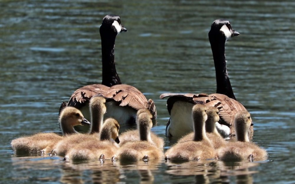 Family-Sharing-geese-photo-1080x675.jpg