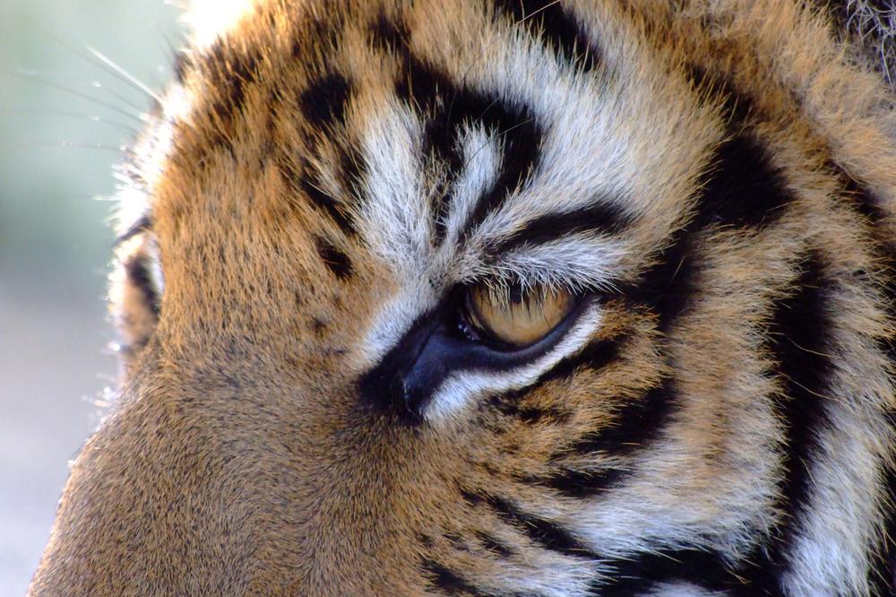 tiger2x3.jpg