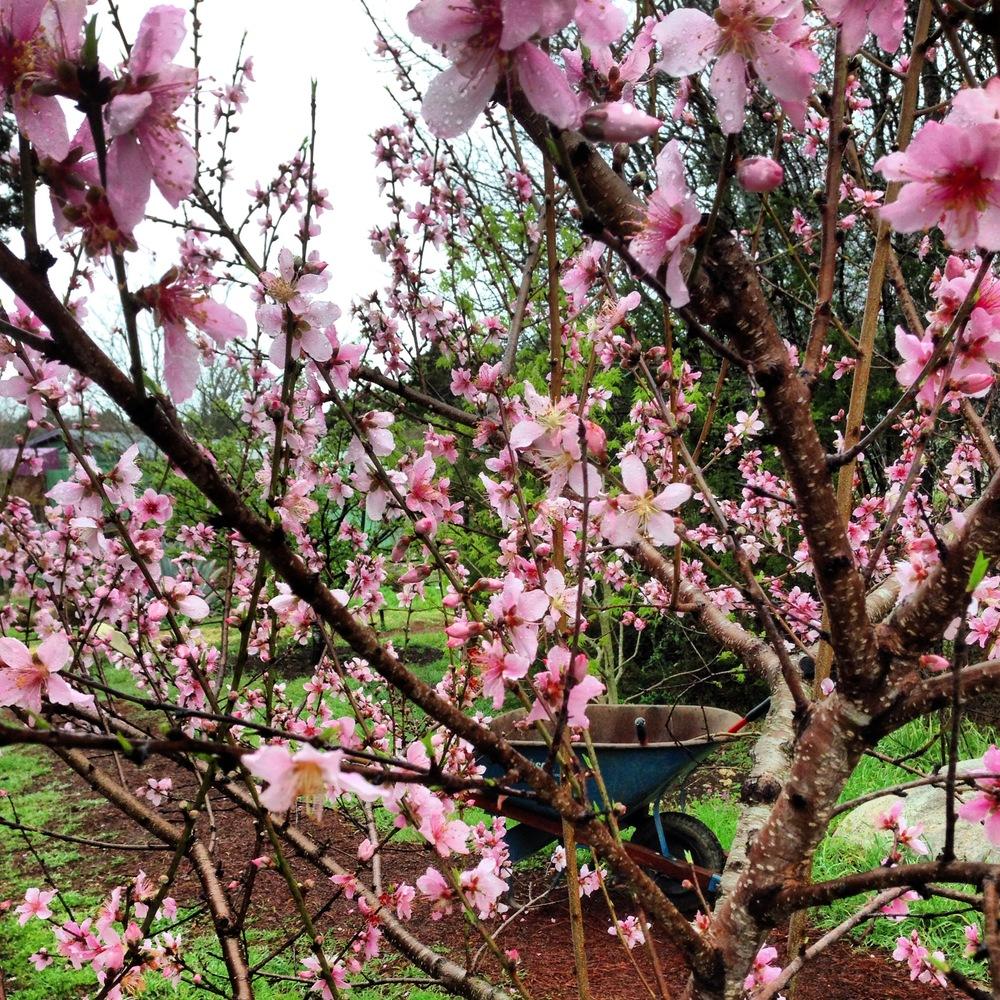 peach_feb.jpg