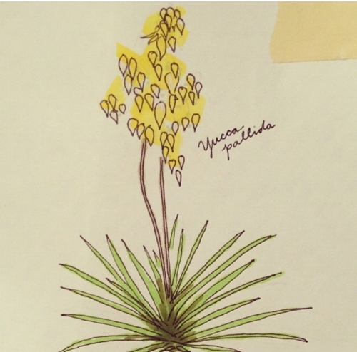 My drawing of a native Texas yucca,  Yucca pallida .