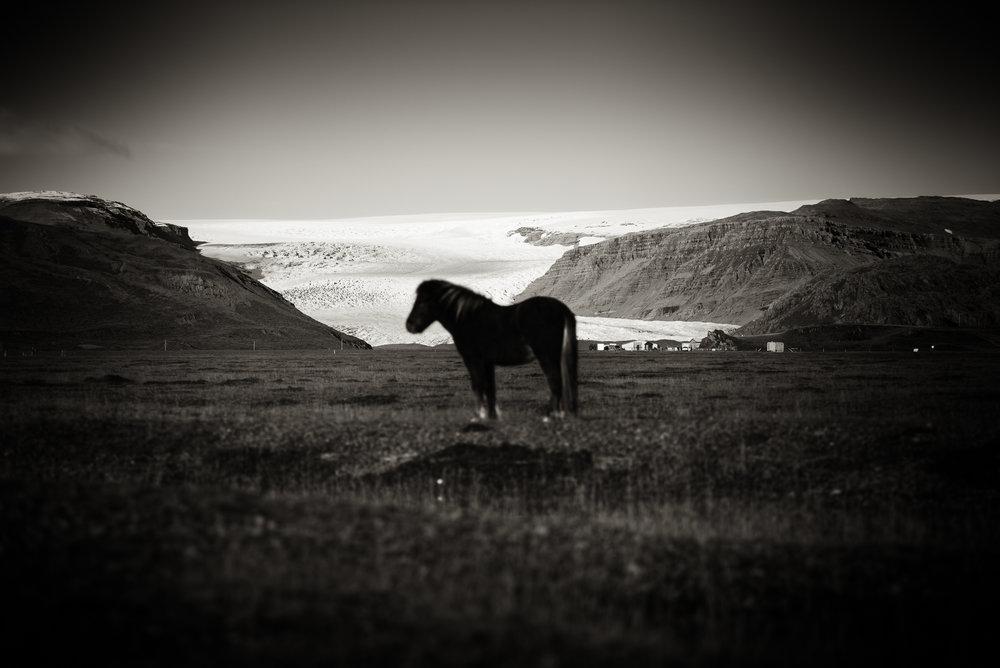Majestic Horse,Skaftafell, Iceland