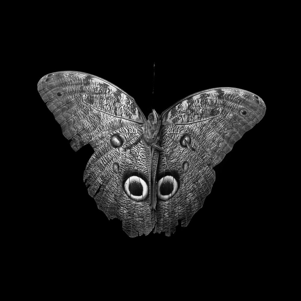 owl butterfly277.jpg