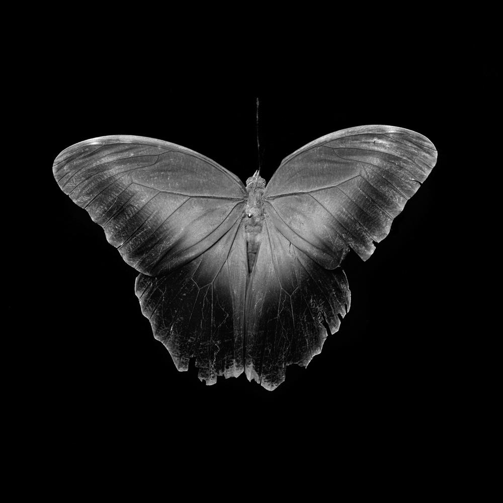owl butterfly277a.jpg