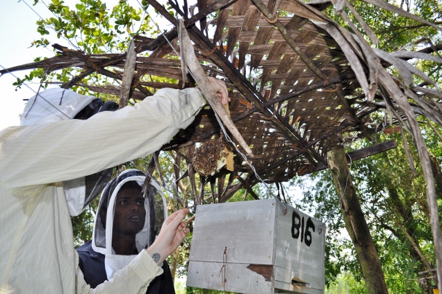 Kylie Butler and Supun Herath inspecting a beehive from Mr. U.G. Sabana's fence - our first colonised hive!