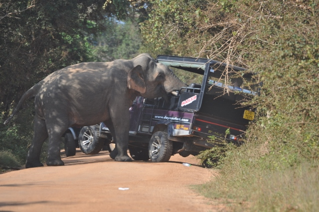 Guides and tourists have encouraged this bull to approach cars for treats. Surrounding by multiple cars, he buries his trunk into the back of jeeps searching for food. Many safari guides and drivers encourage this behavior to give their tourists a unique experience. This is extremely dangerous as the bull will not leave until he receives food now and ambushes cars. Note the front left tyre of the car lifted up, as the bull uses his head and tusks to push on the car until he is satisfied with his treats. Photo by Lauren E. Ross