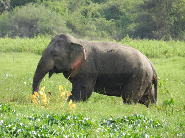 A bull elephant observed in Wasgamuwa National Park. The lumps evident on his side commonly occur as a result of gunshot or other wounds inflicted by farmers trying to defend their crops.