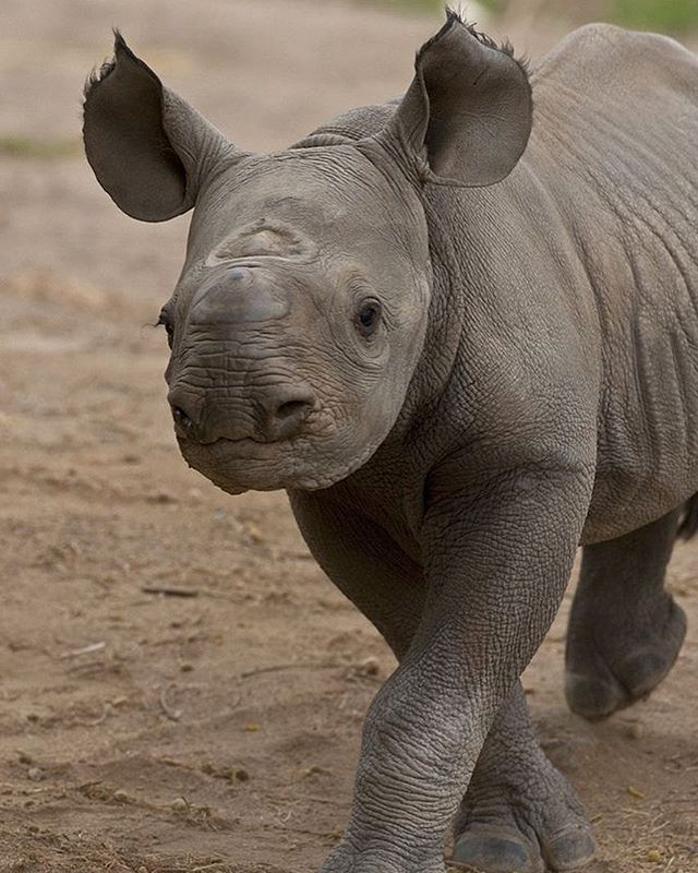 Happy #WorldRhinoDay for yesterday 🦏🦏🦏 How ADORABLE is this little guy?!!