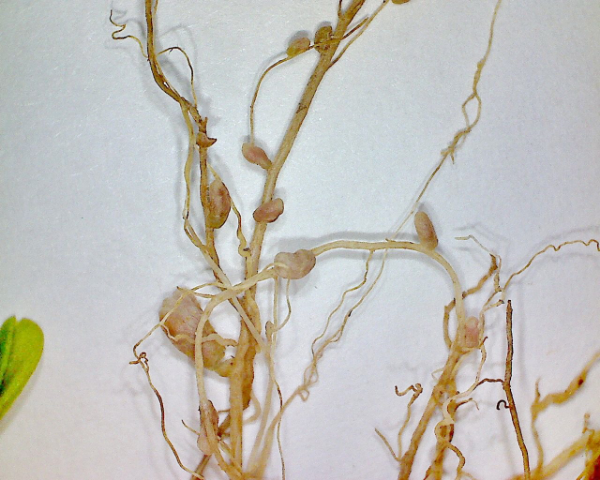 Nitrifying bacteria in crimson clover root nodules