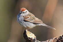 Chipping Sparrow (Wikipedia)