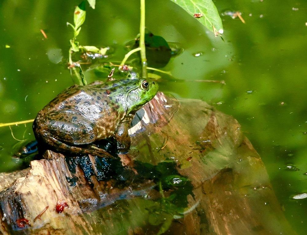 frog (1).jpg