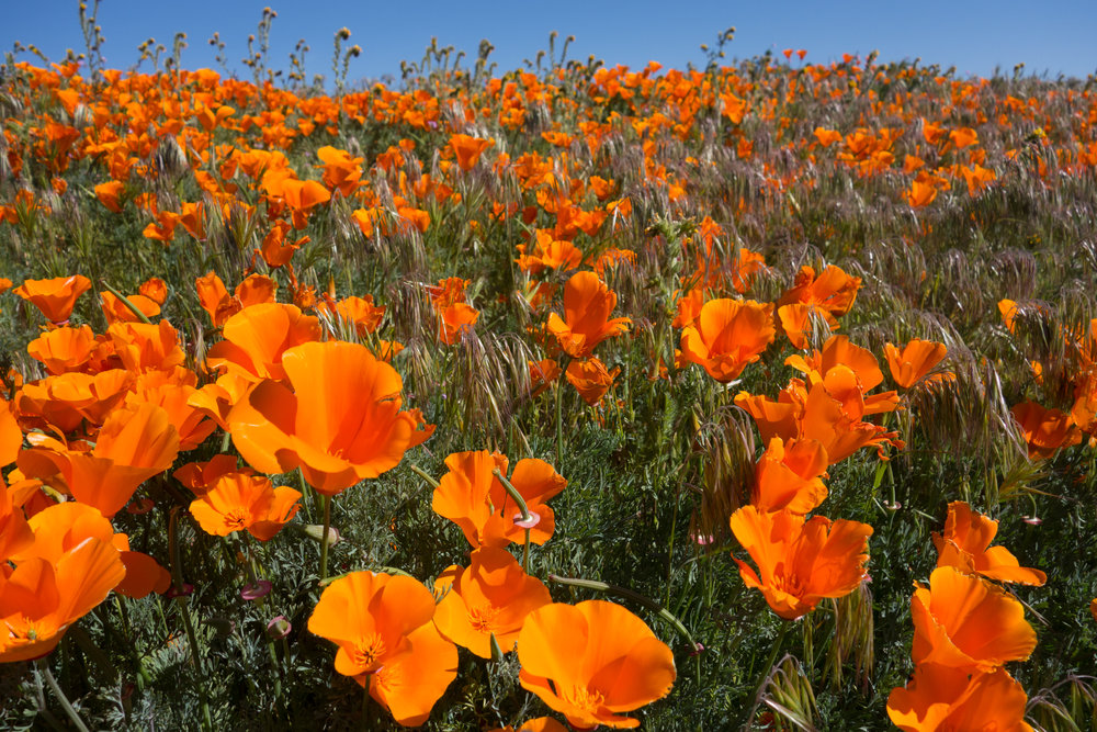 State flower of California: the Poppy