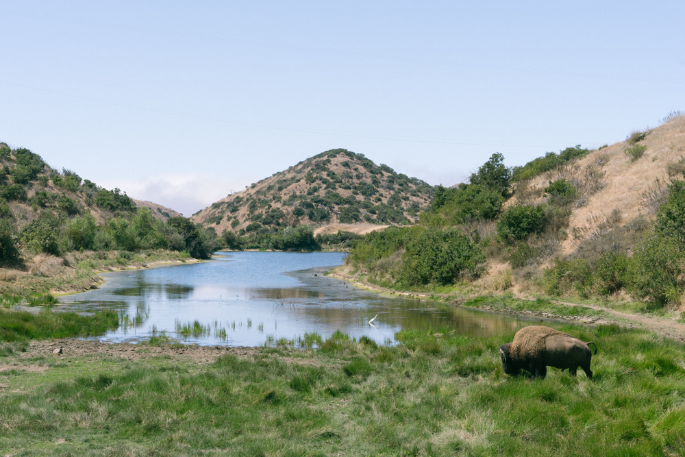 Bison and Heron at  Haypress reservoir, Catalina island