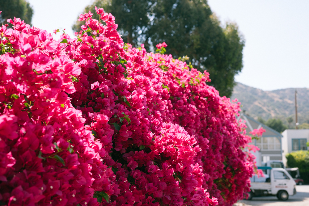 Catalina Island bougainvilla (26 of 73).jpg