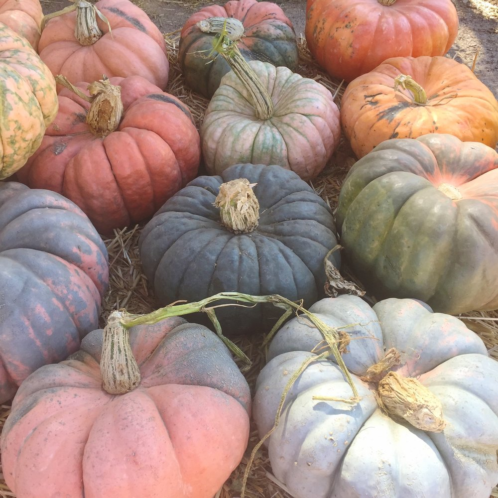 Rainbow pumpkin varietals at  Live Oak pumpkin patch