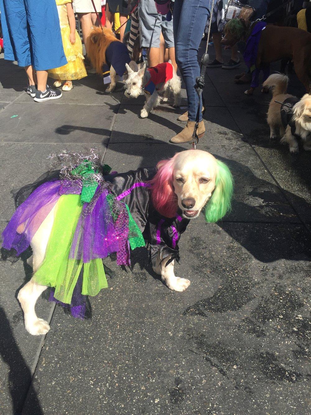 Cyndi Lauper halloween dog costume .jpg