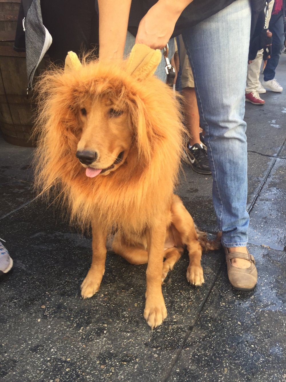 lion dog halloween costume.jpg
