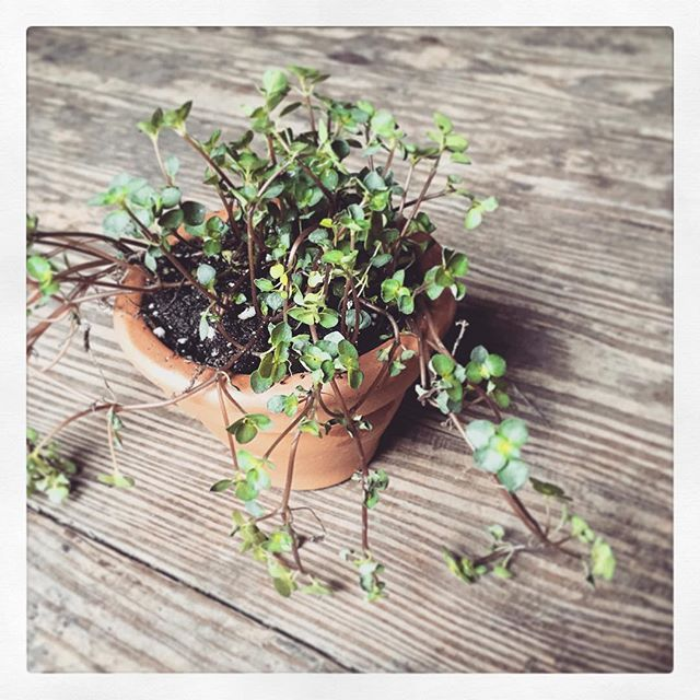 Just potted my adorable plant from @thevinesflowers at Farmington Farmers' Market. @f_farmersmarket  #plant #grow #pot #claypot #clay #terracotta #green #spring #market #local #farmersmarket #smallbiz #shopsmall #support #community