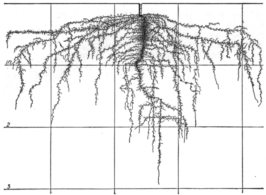 Onion roots shown growing down to 3 foot or 91cm (from: Roots Demystified by Robert Kourik)