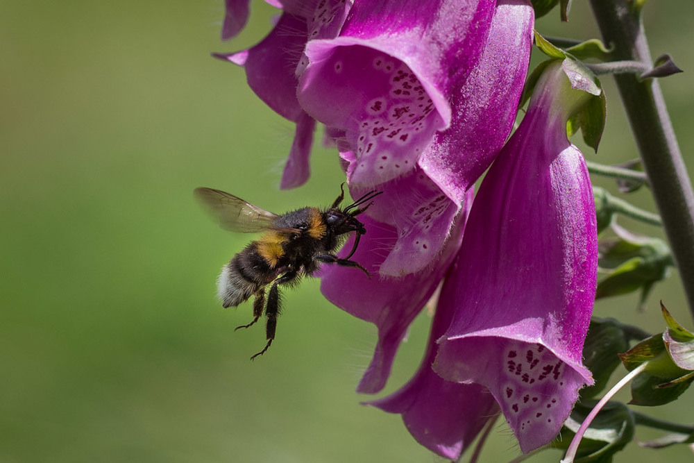 Bumblebee Entering Foxglove Flower