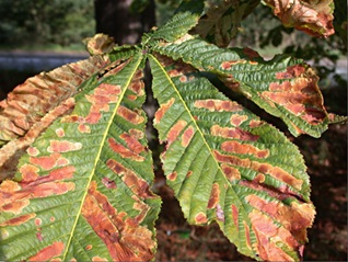 Horse Chestnut leaves showing the damage done by the moth's caterpillar