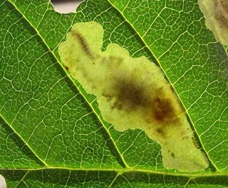 The moth's caterpillar inside the leaf eating the soft tissue