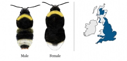 Bumblebee Conservation Trust's Bumblebee of the month - the Forest Cuckoo Bumblebee ( Bombus sylvestris )