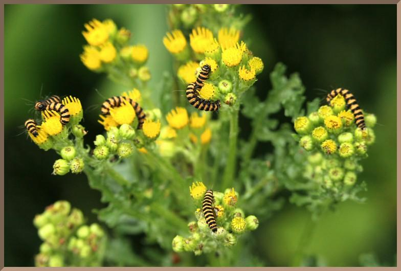 Cinnabar moth caterpillar feeding on Oxford ragwort